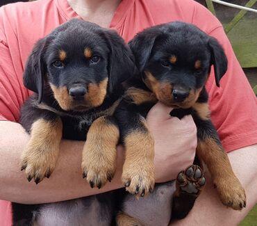 Για σκύλους - Αθήνα: Υγιή κουτάβια Rottweilers για υιοθεσία μικροτσίπ, ελεγμένο κτηνίατρο