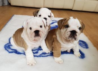 English Bulldog Dogs and Puppies for sale σε Agia Varvara