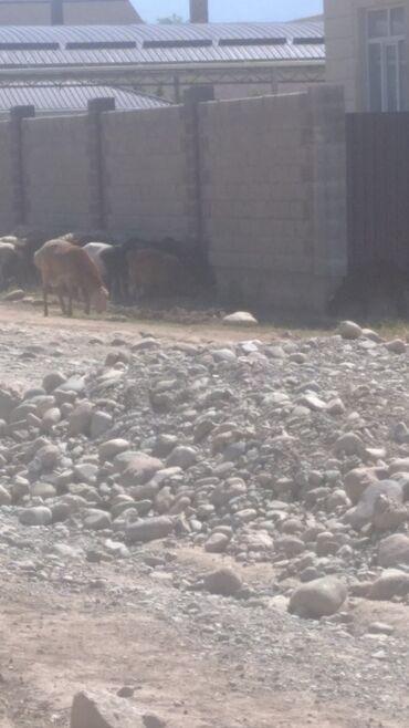 Животные - Беш-Кюнгей: Продаю   Овца (самка), Ягненок, Баран (самец)