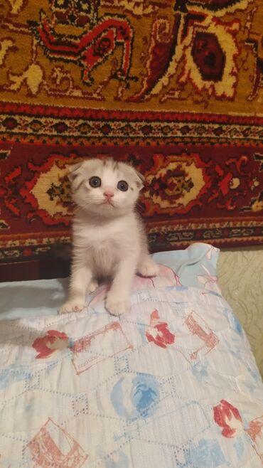 Животные - Кировское: Продаётся чистокровная шатландская девочка!!!