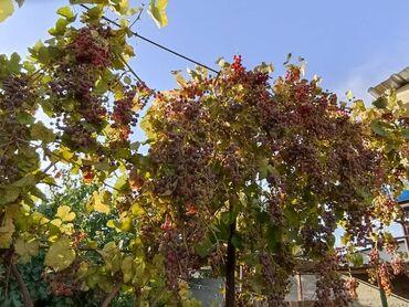 599 объявлений: Виноград можно на вино.кг 30сом есть торг.район кудайберген