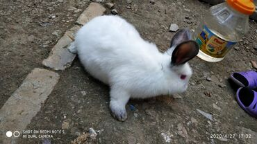 Z 5 - Azərbaycan: Kaliforniya dovşanlari Cute hazırdı 5 aylıqdırQiyməti 30 AZN