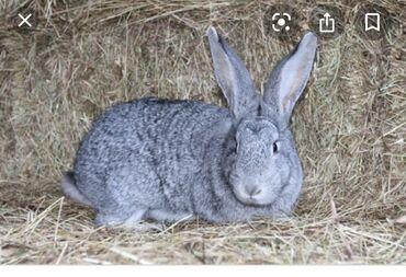кролики бишкек in Кыргызстан   ДЕКОРАТИВНЫЕ КРОЛИКИ: Кролики  Любых возрастов