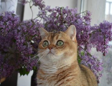 ПРОДАЖА! Шотландские котята из в Бишкек