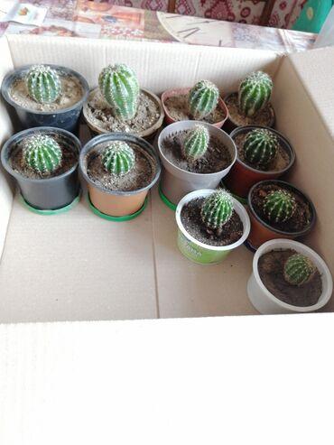 Kaktuslar