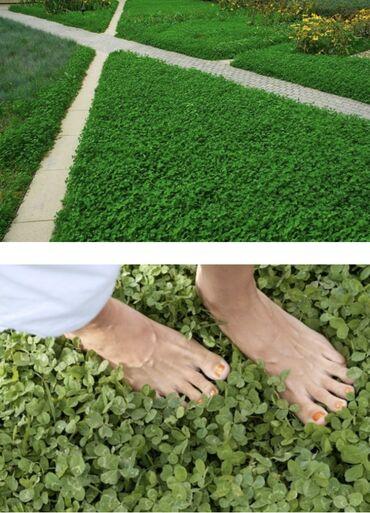 Семена Микроклевера Пиполина - новинка на кыргызском рынке семян трав