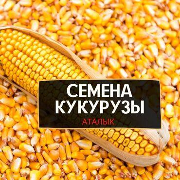 Продаю Кукурузу в ОШЕ, Семена Кукурузы. Я продаю семена кукурузы в