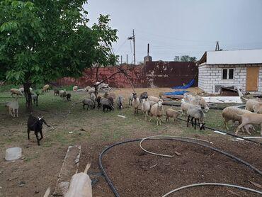 Xırda baş heyvanlar.39 keçi (34 sağılan 2 təkə 3 doğmamış) ( hələp