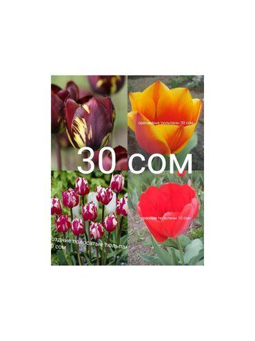 Семена и уличные растения - Сокулук: Продаю тюльпаны! Все в перемешку, те что на фото!цена 30 сом!!! Есть
