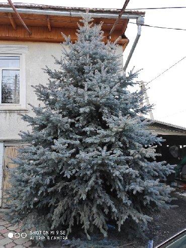 Профнастил крыша цена - Кыргызстан: Продается голубая ель, цена договорная, тел