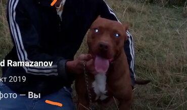 Животные - Кировское: Американский питбуль терьер, кабель только для вязки. Имеется