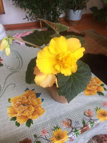 в Ат-Башы: Другие комнатные растения