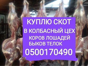 животн в Кыргызстан: Скупаем скот на мясокоров лошадей быков телок и вынужденый забой скота