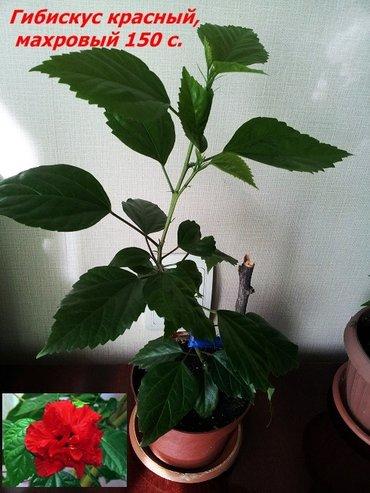 Продаю комнатные растения от 150 с до 300 с  Растения выращены в в Бишкек - фото 4