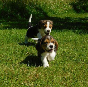 Για σκύλους - Καματερó: Πωλείται Kc Registred Beagle Pups Τα γενεαλογικά κουτάβια έχουν σκουλη