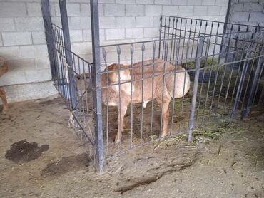 Животные - Ала-Тоо: Бараны, овцы