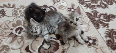 водоотводные лотки бишкек in Кыргызстан | ГРУЗОВЫЕ ПЕРЕВОЗКИ: Отдам в хорошие руки котят. Возраст три месяца. К лотку приучены
