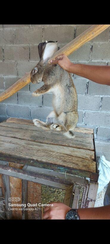 Животные - Сузак: Продаю | Кролик самец | Серый великан | Для разведения