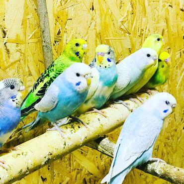 2357 объявлений: Продаются волнистые попугайчики ! Разных цветов и возрастов! Есть