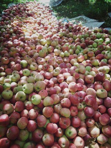 Дом и сад - Беловодское: Продам яблоки за кг сорт Рашида адрес Ыссык-кулская область Тюпский