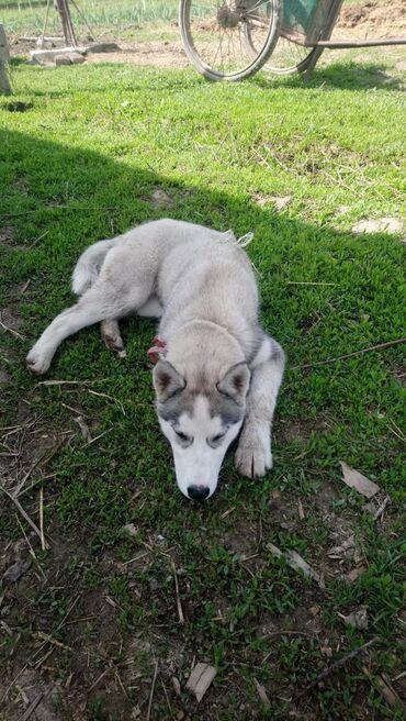 Продам щенок хаски 3 месяца девочка