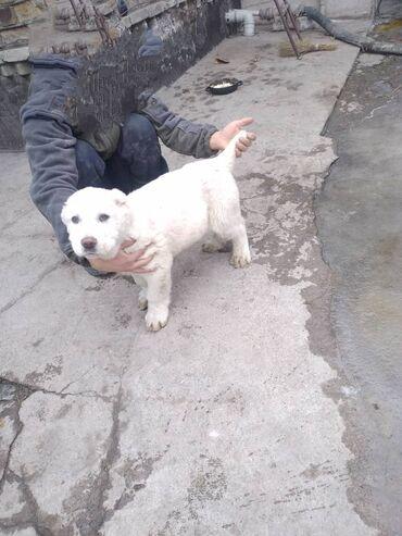 продажа щенков алабая в Кыргызстан: Срочно продаю щенка алабая сын тайсына 60дней прививки зделали обмен