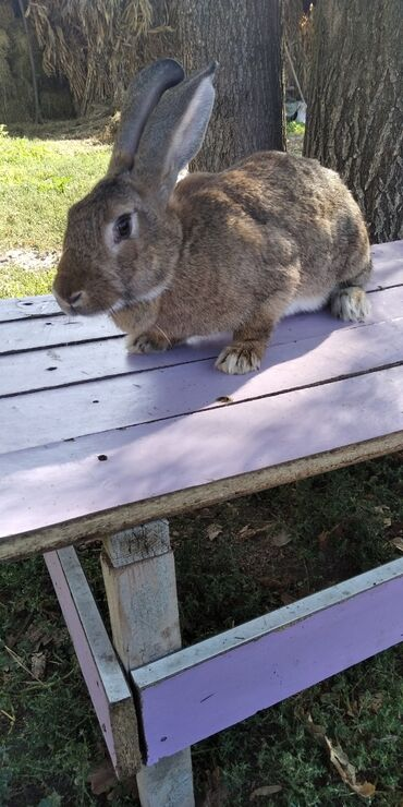 Грызуны - Беловодское: Продаю кроликов.Продаю кроликов две крольчихи и один крол.Крольчихи