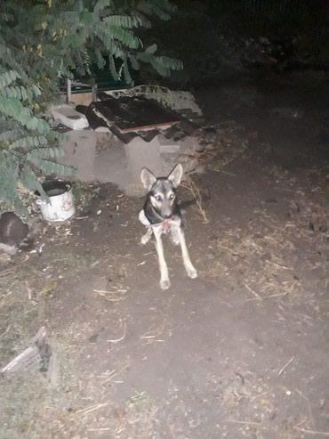 Собака(авчарка)2-х месячный,кабель в Кант
