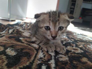 Животные - Селекционное: Отдам котёнка, девочка.Дата рождения 17 мая.Умная,игривая.К еде не