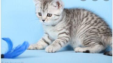 Продаются шотландские котята Скоттиш страйт С необычным редким