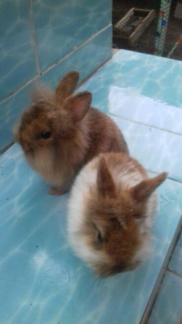 Карликовые - декоративные крольчата