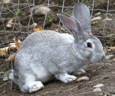 Кролики в Кок-Ой