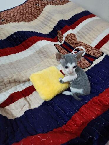 Котенок Донской сфинкс велюровый, котёнок для души,очень приятно