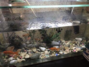 balıq ovu - Azərbaycan: 6 balıqla birlikdə akvaryum 125 manat