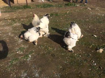 Bakı şəhərində Bu hevanlarin yumurtasi satilir heyvanlar özüme mexsusdu gelib