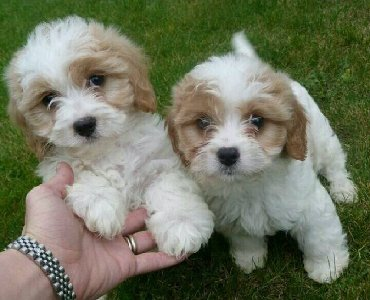 F7 Beautiful Healthy Cavapoo Puppies