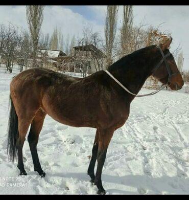 64 объявлений | ЖИВОТНЫЕ: Продаю | Конь (самец), Жеребец | Английская | Для разведения, Конный спорт | Племенные, Осеменитель