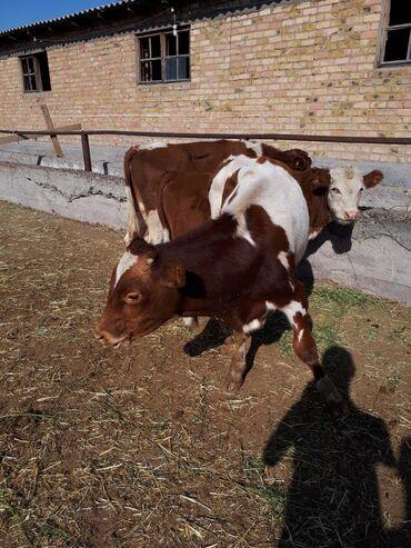 crocs 10 в Кыргызстан: Быки сементал; ауликоль; 8-10: мес