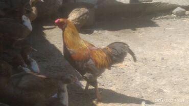 Животные - Буденовка: Продаю петуха высокий большой
