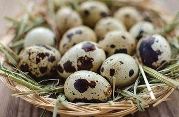 питомник хаски бишкек в Кыргызстан: Инкубационные яйцо переплинов