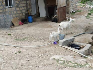 Aston-martin-cygnet-13-cvt - Azərbaycan: Çox təcili südlü sanen keçiləri satılır. 8 ana 4 bala onun da ikisi