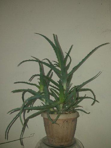 Растения Алоэ