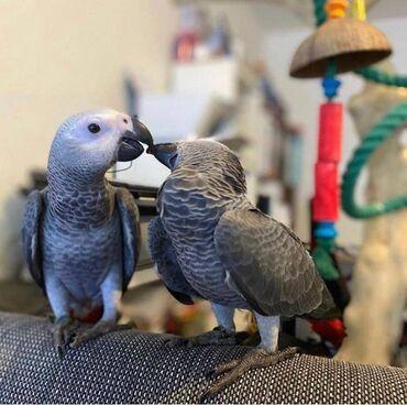Ο Charlie African γκρίζος παπαγάλος είναι πολύ αγαπητός και φιλικός