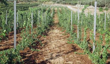 Столбы шпалерные для привязки винограда, яблонь, малины, груш