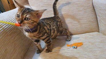 Πουλάω το αξιολάτρευτο θηλυκό γατάκι της Βεγγάλης. Είναι πολύ