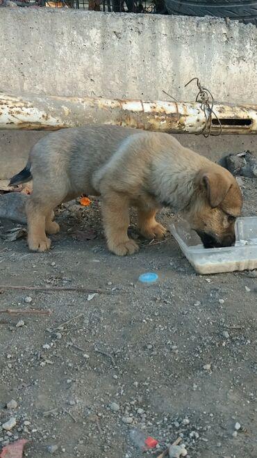 voennyj kung budka в Кыргызстан: В добрые и заботливые руки. 6 щенков. 2 мальчика и 4 девочки.Очень