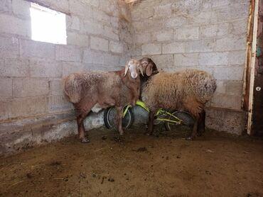 Бараны, овцы - Назначение: Для разведения - Бишкек: Продаю   Овца (самка), Ягненок   Гиссарская   Для разведения   Племенные, Осеменитель