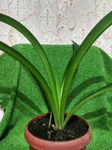 цветущую герань в Кыргызстан: Продажа разных растений! Фикус (черный принц) 850 и 1000с. Фикус (Бенд