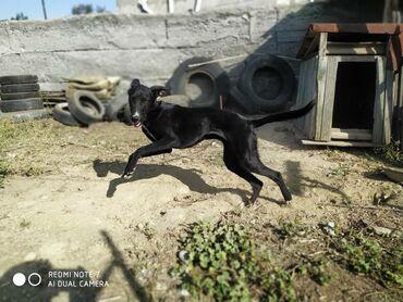 skidki na futbolki в Кыргызстан: Продаю щенка породы Тазы (казакский борзые)Возраст: 6 месяцевПол