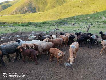 Кой козулары менен САТЫЛАТ!!! Бир короонун малы